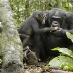 Disneynature's Chimpanzee Film is A Must See! #DisneyPixarEvent