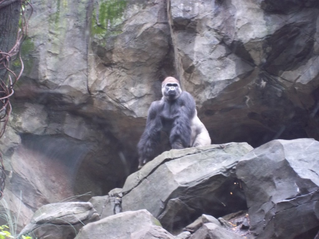 Gorilla from Congo Forest