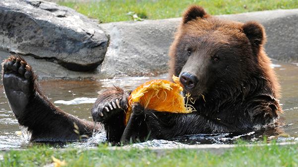 Julie Larsen Maher 1539 Grizzly Bear Pumpkin Enrichment