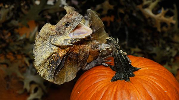 _julie larsen maher 4848 Frilled Dragon with Pumpkin 10 3 10