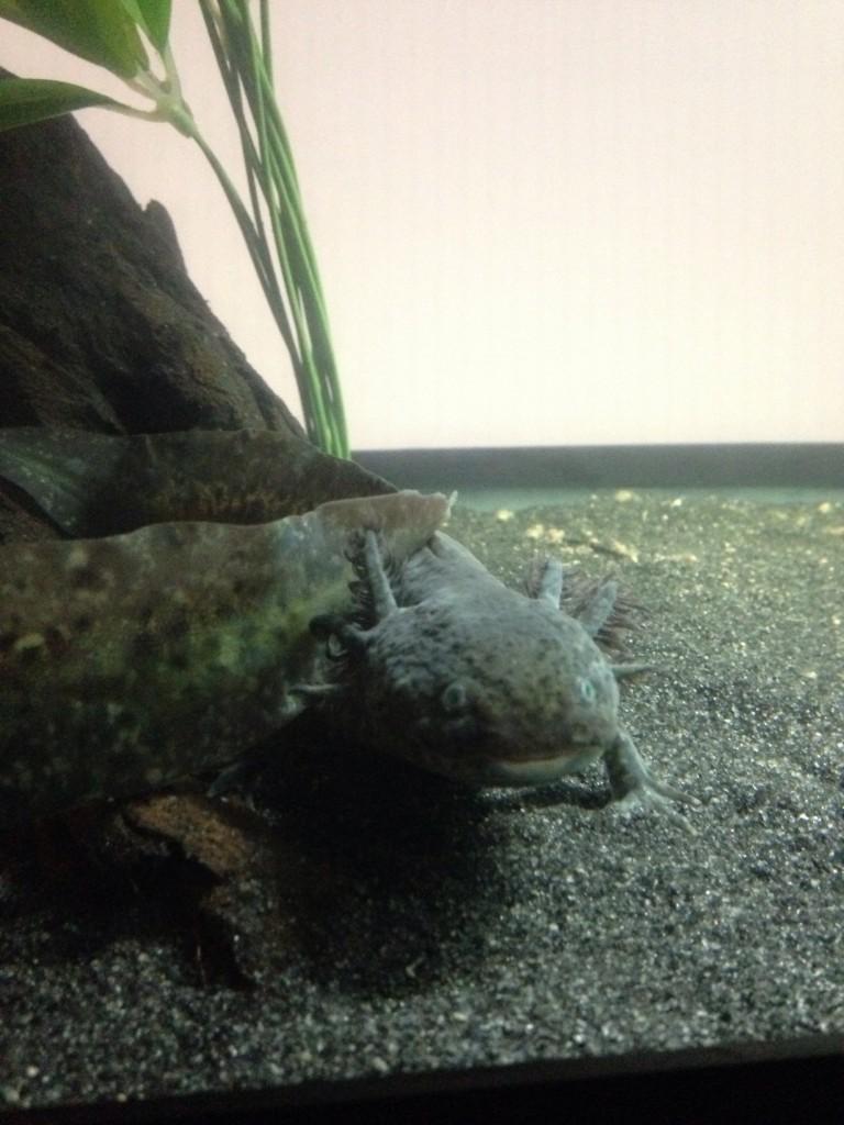 Axolotl at AMNH